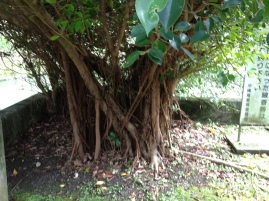 Love finding gorgeous trees with roots!