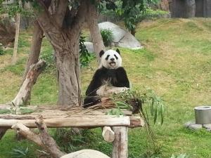 Hello panda!