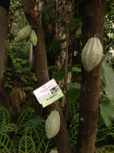 What! Cacao tree!!