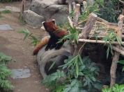 Red panda (my favorite)