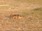 Wild dogs...