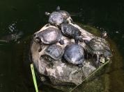 How many turtles climb on a rock?