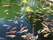 Big goldfish pond