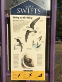 Learned about a Portland Oregon tradition- swift watching!